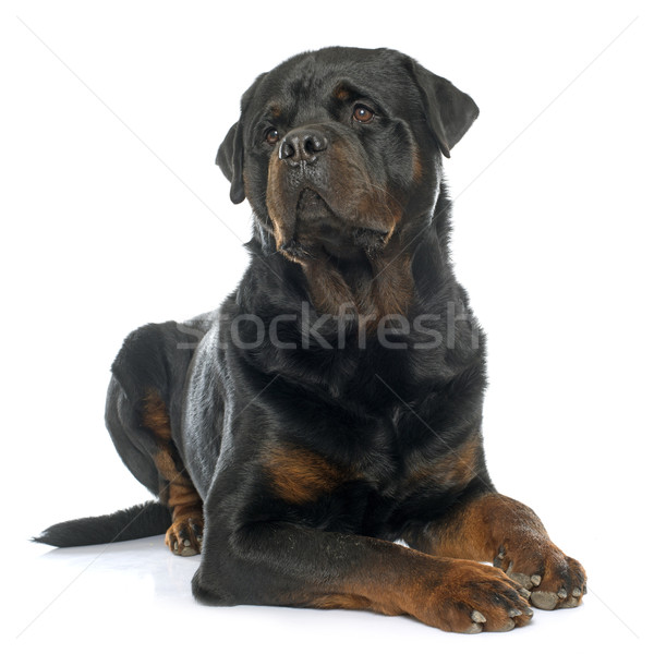 purebred male rottweiler Stock photo © cynoclub