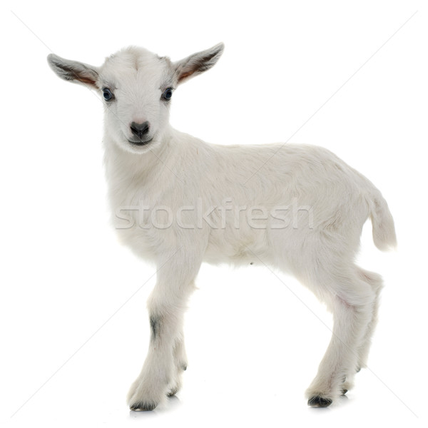 white young goat Stock photo © cynoclub