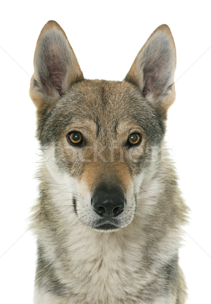 Сток-фото: волка · собака · белый · голову