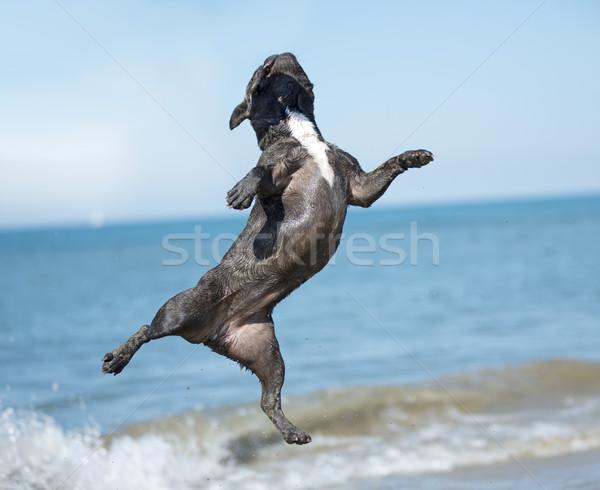 フランス語 ブルドッグ ビーチ ジャンプ フランス 幸せ ストックフォト © cynoclub