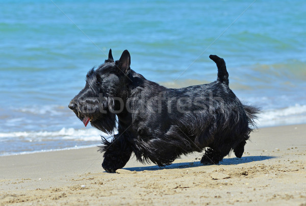 Terrier plage permanent France chien soleil Photo stock © cynoclub