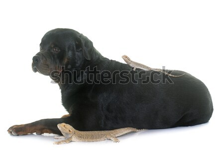 Pogona vitticeps and rottweiler Stock photo © cynoclub