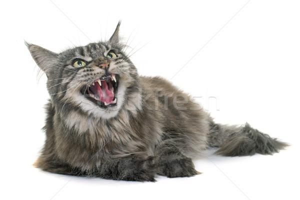 Boos Maine kat mond tanden geluid Stockfoto © cynoclub