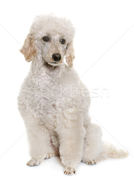 Branco poodle estúdio cão Foto stock © cynoclub