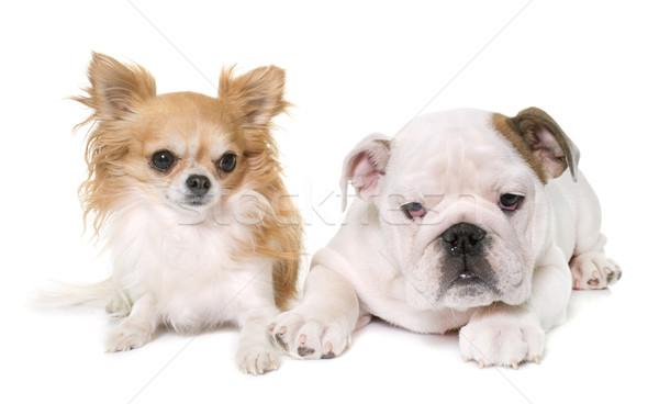 puppy english bulldog and chihuahua Stock photo © cynoclub