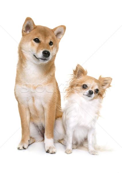 Stockfoto: Jonge · hond · vrienden · studio · puppy · huisdier