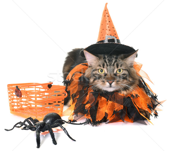 maine coon cat and halloween Stock photo © cynoclub
