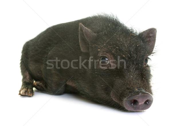 black piglet in studio Stock photo © cynoclub