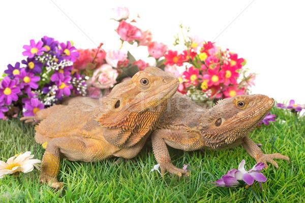 Foto stock: Central · barbudo · dragão · branco