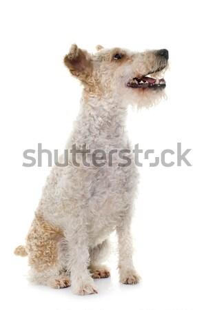 女性 キツネ テリア 白 犬 耳 ストックフォト © cynoclub