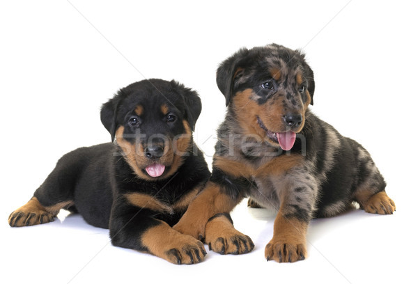 puppies beauceron in studio Stock photo © cynoclub
