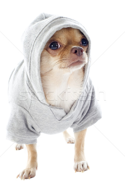 dressed chihuahua Stock photo © cynoclub