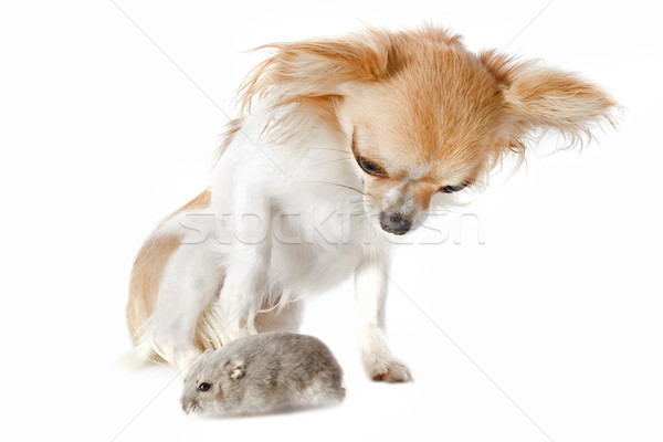 Hamster portret cute witte hond Stockfoto © cynoclub