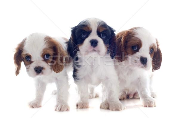 Filhotes de cachorro rei jovem cão cães animal Foto stock © cynoclub