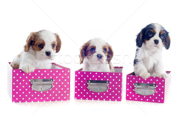 cavalier king charles in box Stock photo © cynoclub
