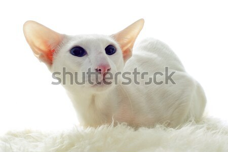 белый кошки портрет глазах синий Сток-фото © cynoclub