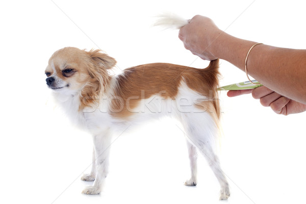 chihuahua and thermometer Stock photo © cynoclub