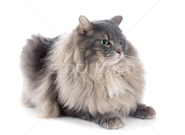 ペルシャ猫 白 ペット 白地 グレー ストックフォト © cynoclub
