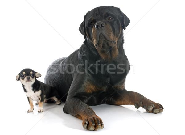 Photo stock: Chiot · rottweiler · portrait · cute · blanche