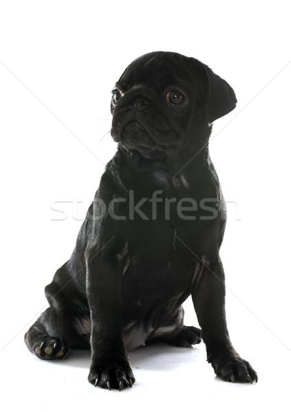 puppy pug Stock photo © cynoclub