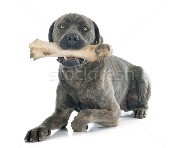 Italiano mastín hueso blanco perro boca Foto stock © cynoclub