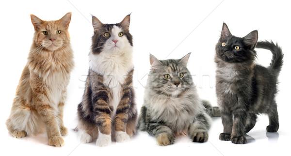 Maine kotów portret cztery biały Zdjęcia stock © cynoclub