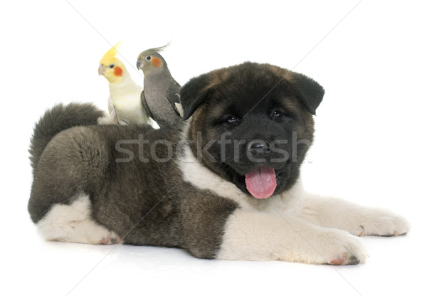 puppy american akita and cockatiel Stock photo © cynoclub