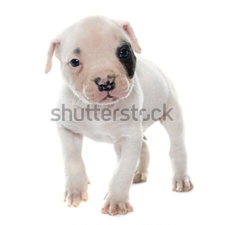 Férfi labrador retriever fehér állat stúdió díszállat Stock fotó © cynoclub
