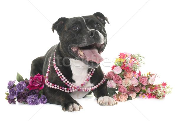 Zdjęcia stock: Byka · terier · biały · kwiat · czarny · szczeniak