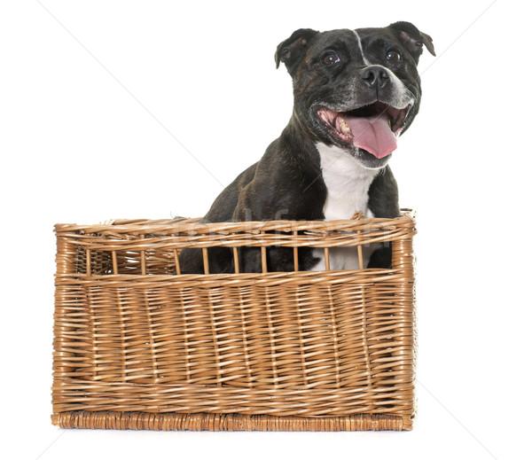 Zdjęcia stock: Byka · terier · biały · czarny · koszyka · szczeniak