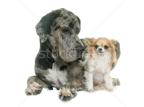 Stock photo: Great Dane and chihuahua