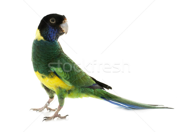 Australian ringneck in studio Stock photo © cynoclub