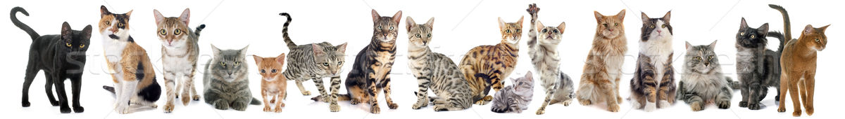 group of cat Stock photo © cynoclub