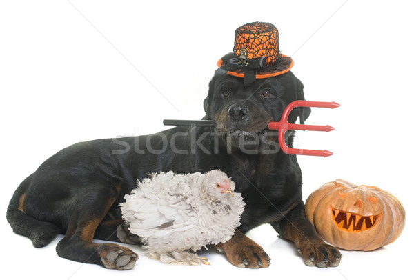 rottweiler, chicken and pumpkin of halloween Stock photo © cynoclub