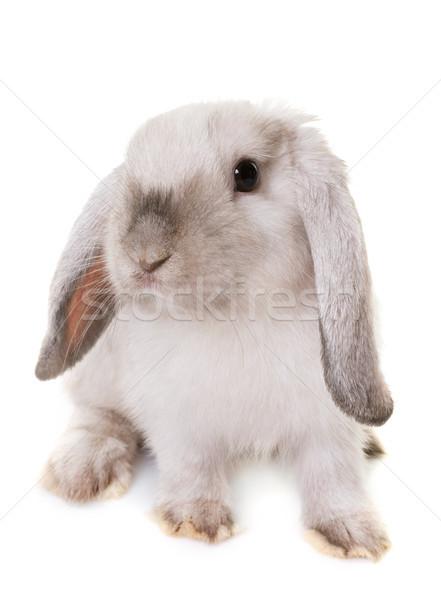 ミニ スタジオ ウサギ バニー 白 ペット ストックフォト © cynoclub