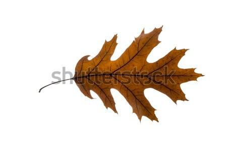 ストックフォト: 秋 · 葉 · 孤立した · 白 · 春 · 自然