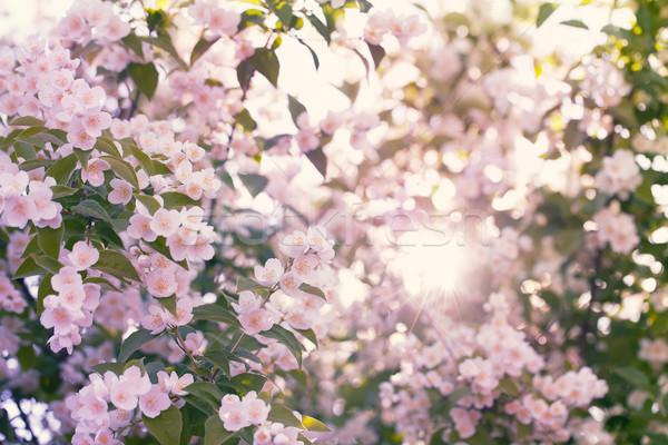 Elma ağacı güneş parlama güzel parlak Stok fotoğraf © d13