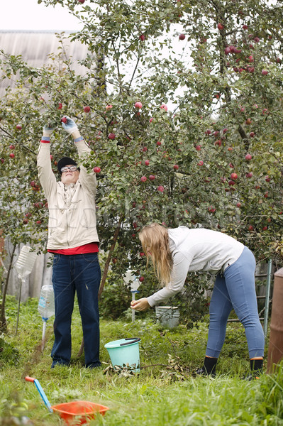 Father and daughter collecting apples in the orchard Stock photo © d13