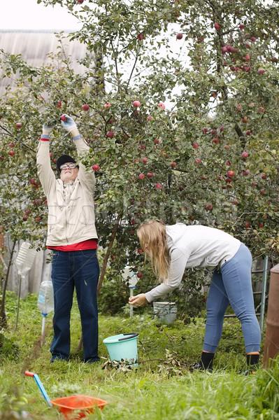 Vader dochter verzamelen appels boomgaard uit Stockfoto © d13