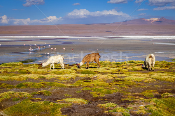 Lamas herd in Laguna colorada, sud Lipez Altiplano reserva, Boli Stock photo © daboost