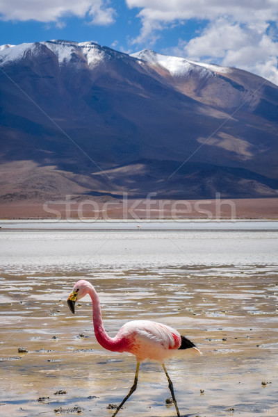 Pink flamingos in laguna Honda, sud Lipez altiplano reserva, Bol Stock photo © daboost