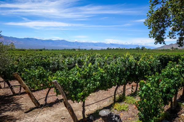 Wijnstok veld Argentinië landschap wijn zomer Stockfoto © daboost