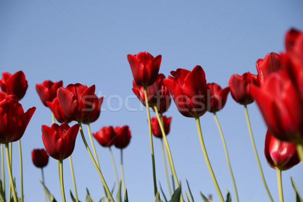 red tulips field on a blue sky Stock photo © daboost