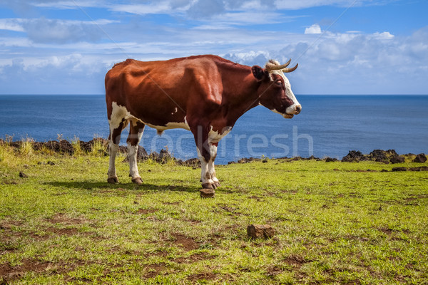 Beef on easter island cliffs Stock photo © daboost