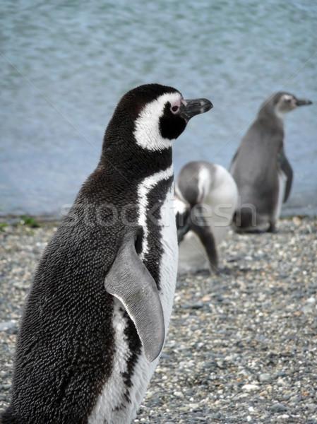 海 氷 黒 頭 ピンク 泳ぐ ストックフォト © daboost