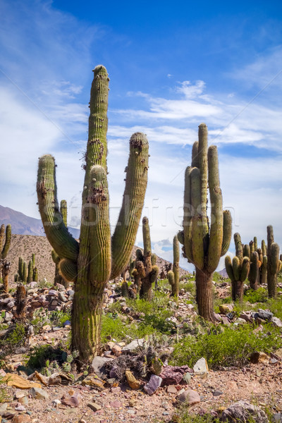 giant cactus in the desert, Argentina Stock photo © daboost