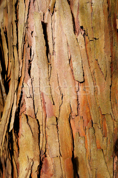 eucalyptus wood bark texture Stock photo © daboost