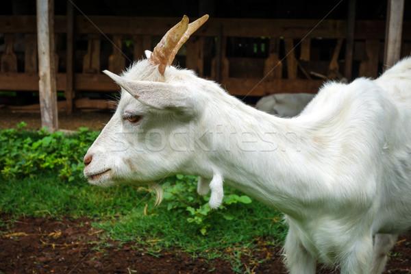 Branco cabra fazenda ver olho Foto stock © daboost