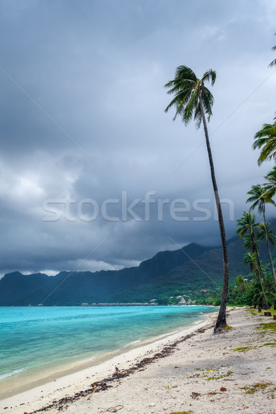 Palm trees on Temae Beach in Moorea island Stock photo © daboost
