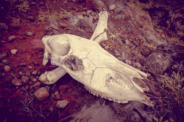 Horse skull and bones Stock photo © daboost